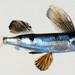 Parexocoetus mento - Photo (c) 魚類生態進化研究室, osa oikeuksista pidätetään (CC BY-NC)