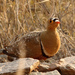 Double-banded Sandgrouse - Photo (c) Alan Manson, some rights reserved (CC BY-SA)