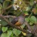 Abyssinian Thrush - Photo (c) Peter Steward, some rights reserved (CC BY-NC)