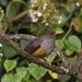 Turdus abyssinicus - Photo (c) Peter Steward, algunos derechos reservados (CC BY-NC)