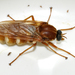 Coenomyia ferruginea - Photo (c) Francisco Welter-Schultes, some rights reserved (CC BY-NC)