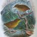 Isovilistäjä - Photo Buller, Walter Lawry, <i>A History of the Birds of New Zealand</i>. Supplementary Notes to the 'Birds of New Zealand'. Vol. II.'''. 1905., ei tunnettuja tekijänoikeusrajoituksia (Tekijänoikeudeton)