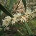 Hakea dactyloides - Photo (c) John Tann, osa oikeuksista pidätetään (CC BY)