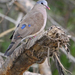 Blue-spotted Wood-Dove - Photo (c) Nik Borrow, some rights reserved (CC BY-NC)