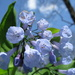 Virginia Bluebells - Photo (c) Bob Gutowski, some rights reserved (CC BY)