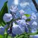 Mertensia virginica - Photo (c) Bob Gutowski, algunos derechos reservados (CC BY)