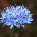 Brunonia australis - Photo (c) Tindo2, algunos derechos reservados (CC BY-NC)