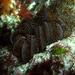Cenolia - Photo (c) Wayne Martin, alguns direitos reservados (CC BY-NC)
