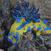 Verco's Nudibranch - Photo (c) Klaus Stiefel, some rights reserved (CC BY-NC)