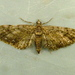 Eupithecia columbiata - Photo (c) Dick, osa oikeuksista pidätetään (CC BY-NC-SA)