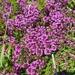Thymus praecox - Photo (c) Stefan Gey, algunos derechos reservados (CC BY-NC)