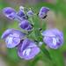 Scutellaria - Photo (c) pgwamsley,  זכויות יוצרים חלקיות (CC BY-NC)