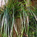 Shoestring Fern - Photo (c) Mary Keim, some rights reserved (CC BY-NC-SA)