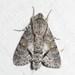 Cautethia grotei - Photo (c) Andrew Block,  זכויות יוצרים חלקיות (CC BY-NC)