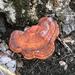 Ganoderma curtisii - Photo (c) williammay1972, algunos derechos reservados (CC BY-NC)