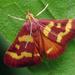 Coffee-loving Pyrausta Moth - Photo (c) Thomas Shahan, some rights reserved (CC BY)
