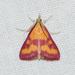 Pyrausta laticlavia - Photo (c) Royal Tyler,  זכויות יוצרים חלקיות (CC BY-NC-SA)