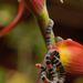 Micrurus ancoralis - Photo (c) Bitty A. Roy,  זכויות יוצרים חלקיות (CC BY-NC)