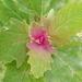 Chenopodium giganteum - Photo (c) candiru, μερικά δικαιώματα διατηρούνται (CC BY)