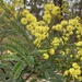 Sunshine Wattle - Photo (c) bluey3, some rights reserved (CC BY-NC)