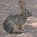 Desert Cottontail - Photo (c) Sam Hough, some rights reserved (CC BY-NC)