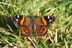 New Zealand Red Admiral - Photo (c) Tony Wills, some rights reserved (CC BY-SA)
