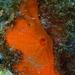 Diplastrella bistellata - Photo (c) Marleen Schouten, some rights reserved (CC BY-NC)