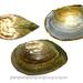 Anemina arcaeformis - Photo (c) Kim, Hyun-tae, μερικά δικαιώματα διατηρούνται (CC BY-NC-SA)