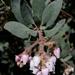 Arctostaphylos glandulosa howellii - Photo (c) dgreenberger, algunos derechos reservados (CC BY-NC-ND)
