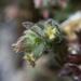 Galium clementis - Photo (c) dgreenberger, algunos derechos reservados (CC BY-NC-ND)