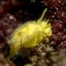 Yellow Umbrella Slug - Photo (c) Dani Barchana, some rights reserved (CC BY-NC)