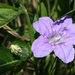 Smooth Ruellia - Photo (c) Janet, some rights reserved (CC BY-NC-SA)