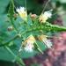 Collinsonia canadensis - Photo (c) dogtooth77, algunos derechos reservados (CC BY-NC-SA)