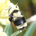California Bumble Bee - Photo (c) Brian Starzomski, some rights reserved (CC BY-NC)