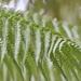 Cibotium glaucum - Photo (c) Nature Ali, algunos derechos reservados (CC BY-NC-ND)