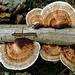 Daedaleopsis - Photo (c) jan parie, algunos derechos reservados (CC BY-NC-SA)
