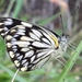 African Veined White - Photo (c) Sally Adam, some rights reserved (CC BY-NC)