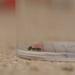 Elachista atricomella - Photo (c) Jeremy Barker, μερικά δικαιώματα διατηρούνται (CC BY-NC)