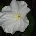 Moonflower - Photo (c) Michael, some rights reserved (CC BY-NC)