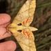 Platysphinx piabilis - Photo (c) yakovlev.alexey, algunos derechos reservados (CC BY-SA)