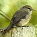Muscicapa adusta adusta - Photo (c) Colin Ralston, algunos derechos reservados (CC BY-NC)