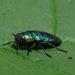 Chrysobothris harrisi - Photo (c) Jason King, algunos derechos reservados (CC BY-NC)