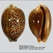 Atlantic Deer Cowrie - Photo (c) Natural History Museum Rotterdam, some rights reserved (CC BY-NC-SA)