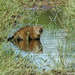 Gato del Pantanal - Photo (c) pfaucher, algunos derechos reservados (CC BY-NC)