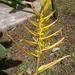 Heliconia lingulata - Photo (c) Marco Acuña, algunos derechos reservados (CC BY-NC)