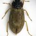 Helophoridae - Photo (c) Chris Moody, algunos derechos reservados (CC BY-NC)