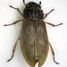 Helophorus - Photo (c) Chris Moody, μερικά δικαιώματα διατηρούνται (CC BY-NC)