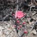 Peniocereus viperinus - Photo (c) comuneroschilac, μερικά δικαιώματα διατηρούνται (CC BY-NC)