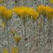 Ericameria nauseosa hololeuca - Photo (c) Jim Morefield, algunos derechos reservados (CC BY)