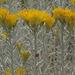 Ericameria nauseosa hololeuca - Photo (c) Jim Morefield, osa oikeuksista pidätetään (CC BY)